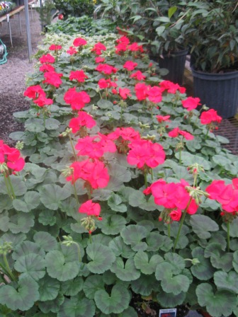 Landscape plants for greensboro nc diana digs dirt for Indoor gardening diana yakeley